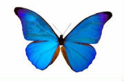 Bluebutterflyresized.jpg